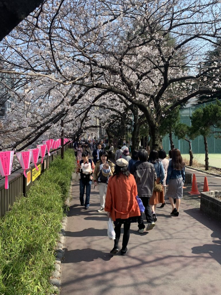 Walking along Megura River during Sakura Season