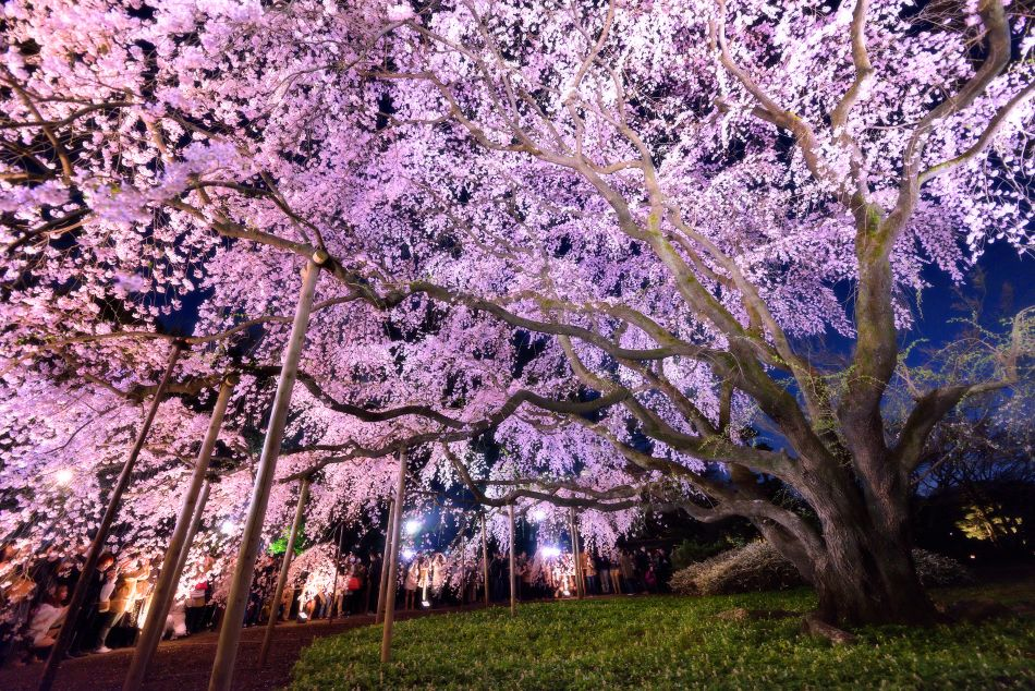 Rikugien Cherry Blossom Illumination